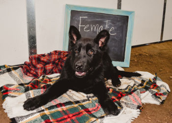 German Shepherd Female Puppy For Sale