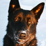 Jack Stud Male German Shepherd Breeders