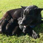 Betty SmithFarms German Shepherds Female Breeder
