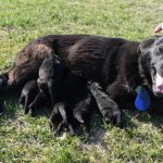 Haly SmithFarms German Shepherds Female Breeder