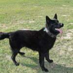 Jack SmithFarms German Shepherds Male Breeder
