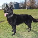 Jack SmithFarms German Shepherds Male Breeder