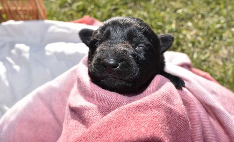 Jack and Haly Female Puppy - German Shepherd Male Puppy For Sale