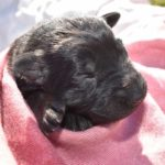 Jack and Haly Female Puppy - German Shepherd Female Puppy For Sale