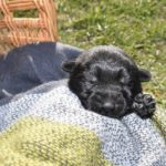 Jack and Haly Male Puppy 1