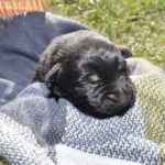 Jack and Haly Male Puppy 1-2
