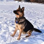 Janny SmithFarms German Shepherds Female Breeder