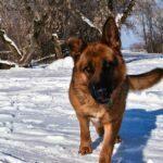Jazzy SmithFarms German Shepherds Female Breeder