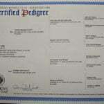 Jazzy SmithFarms German Shepherds Female Breeder Certification