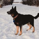 Jericho SmithFarms German Shepherds Male Breeder