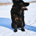 Tascha SmithFarms Young German Shepherd Female For Sale