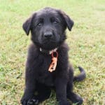 Black German Shepherd Female Puppies for sale - Jack and Betty Female Puppy Smithfarms German Shepherds
