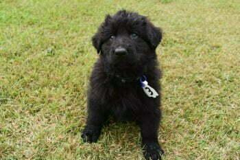 Black German Shepherd Male Puppies for sale - Jack and Betty Male Puppy Smithfarms German Shepherds