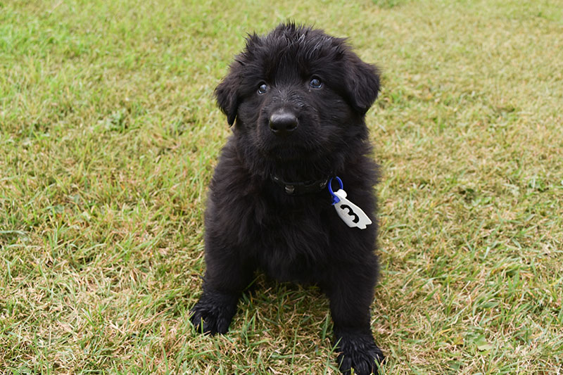 Jack and Betty Black German Shepherd Male Puppies For Sale Near Me In Hungary