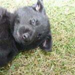 German Shepherd Female Puppies for sale - Jack and Betty Female Puppy Smithfarms German Shepherds
