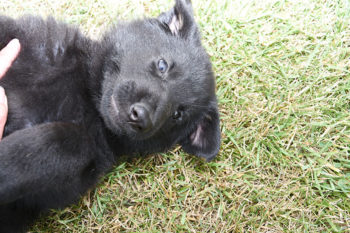 German Shepherd Female Puppies for sale - Jack and Betty Female Puppy Smithfarms German Shepherds
