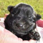 German Shepherd Female Puppy For Sale
