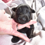 Black German Shepherd Female Puppy For Sale
