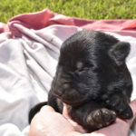 Jack and Betty Female Puppy 3 - German Shepherd Female Puppies For Sale