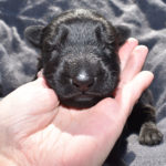 Jack and Betty Male Puppy 2 - German Shepherd Male Puppy For Sale