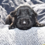 Jack and Betty Male Puppy 4 - German Shepherd Male Puppy For Sale