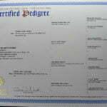 Jupiter German Shepherd Dog Male Breeder American Kennel Club Certification - SmithFarms German Shepherd