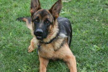 Jupiter German Shepherd Dog Male Breeder - SmithFarms German Shepherd