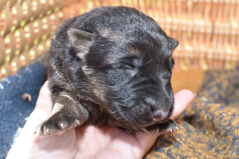 Smithfarms German Shepherd Female Puppies For Sale