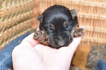 Smithfarms Black and Tan German Shepherd Female Puppies For Sale