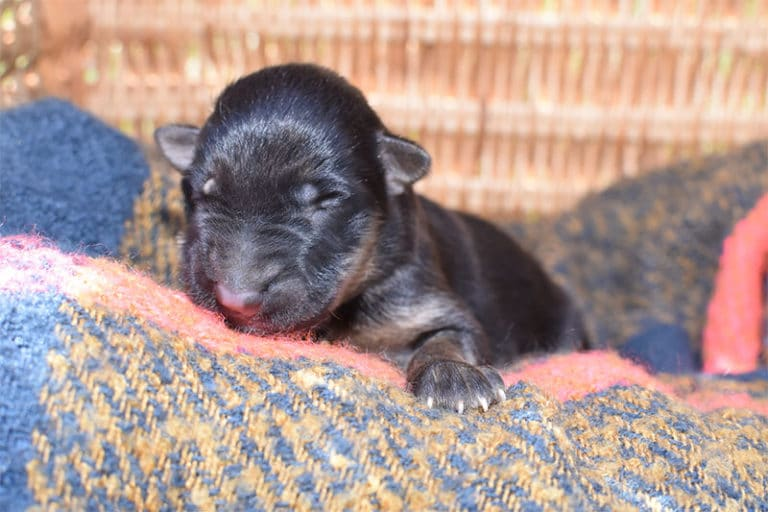 Smithfarms Black and Tan German Shepherd Female Puppies For Sale