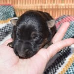 Smithfarms Black and Tan German Shepherd Male Puppies For Sale