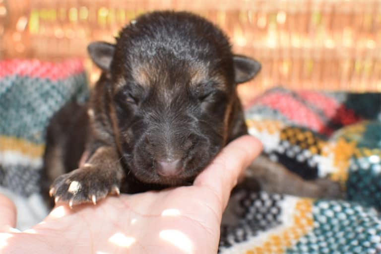 Smithfarms Black and Tan German Shepherd Male Puppies For Sale