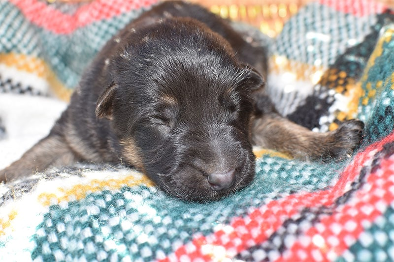Jazzy and Jericho Black & Tan German Shepherd Male Puppy For Sale In Japan
