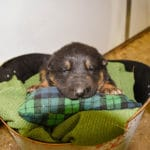 black and tan german shepherd puppies for sale