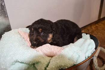 Janny and Jericho black and tan female German shepherd puppies for sale