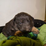 black and tan german shepherd puppies for sale