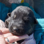 Betty-and-Jericho-Female-German-shepherd-puppy-for-sale