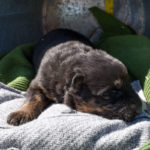 Betty-and-Jericho-Male-German-shepherd-puppy-for-sale