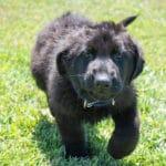 10 Reasons to Adopt a German Shepherd