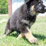 Jericho & Betty Black & Tan Female German Shephard Puppies For Sale