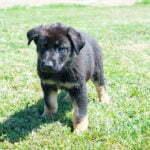 Jericho & Betty Black & Tan Male German Shephard Puppies For Sale