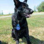 Jigger All Black Male German Shepherd Dog