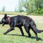 Justice All Black Female German Shepherd Dog