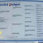 Justice All Black Female German Shepherd Dog Certification