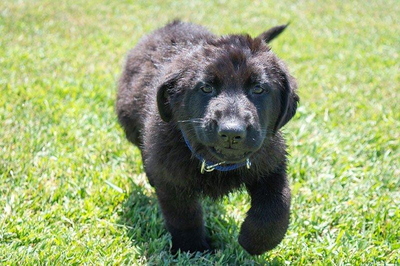 Black German Shepherd Puppies For Sale